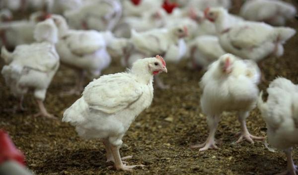 Informacja Wojewody Podlaskiego w sprawie ognisk wysoce zjadliwej grypy ptaków (HPAI)