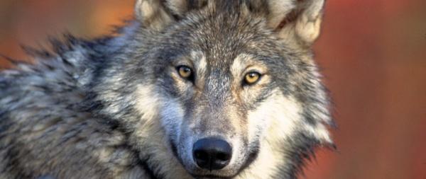 Przydatne informacje dotyczące wilków